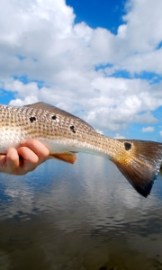 A Louisiana redfish tail set against the Gulf sky