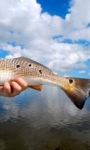 A Louisiana redfish tail set against the Gulf sky