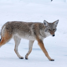 A Yellowstone coyote