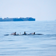 Dolphins in the Chesapeake