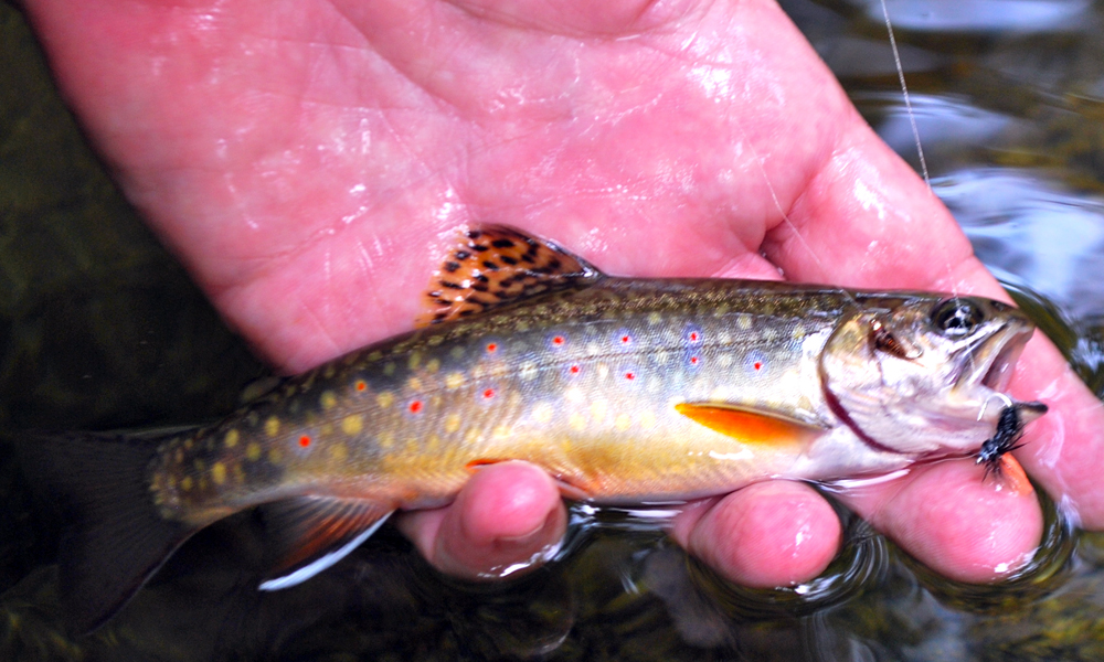 Virginia Brook Trout